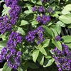 Heliotrope 'Midnight Sky'  1L